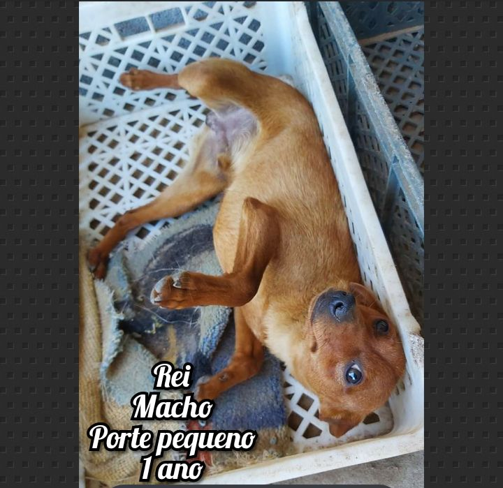 Cão X pinscher para adoção