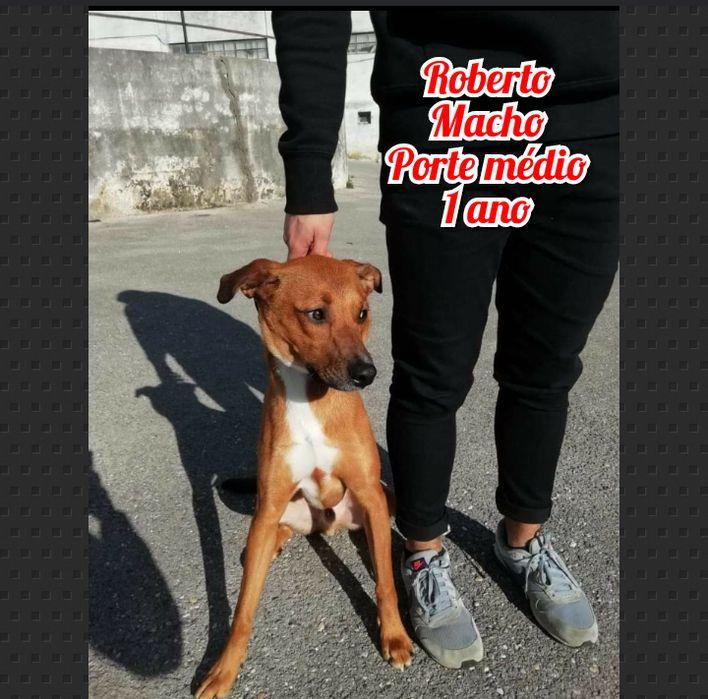 Roberto- cão de porte médio ideal para casa para adoção