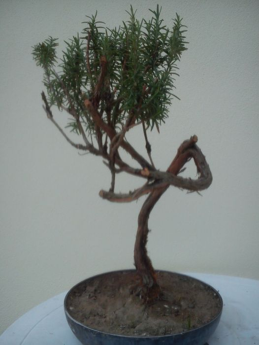 alecrim bonsai