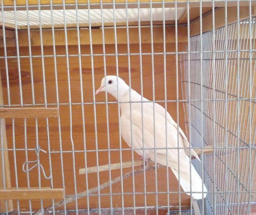 Rolas Domesticas, brancas e castanhas. Pássaro