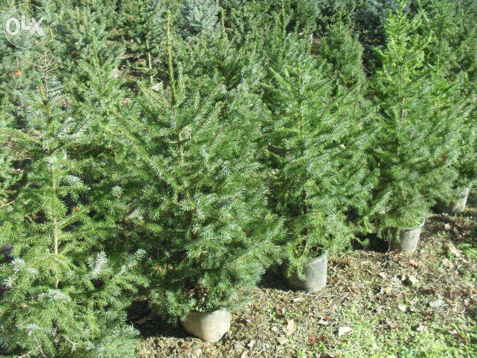 Pinheiro de natal/jardim e cedres