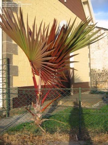 Palmeira vermelha