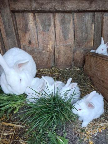 Кролі білий паннон Белый паннон.