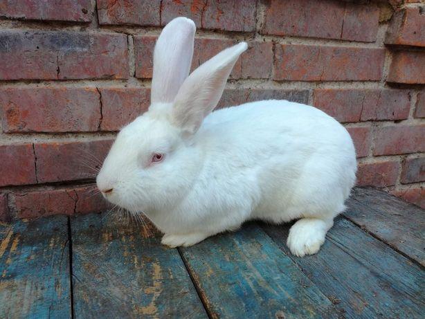 Продам кроликов породы белый паннон, калифорнийский, большое европейск