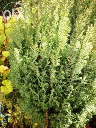 Planta de Jardim Cipreste de Lawson