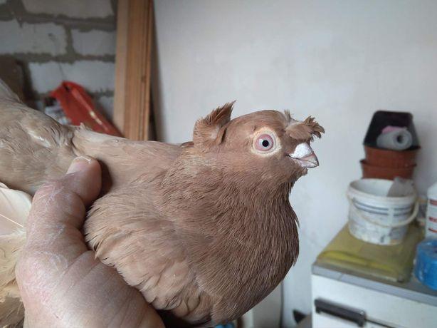 Продажа бойных голубей,узбеков .