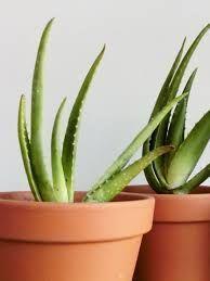 Plantas Aloe