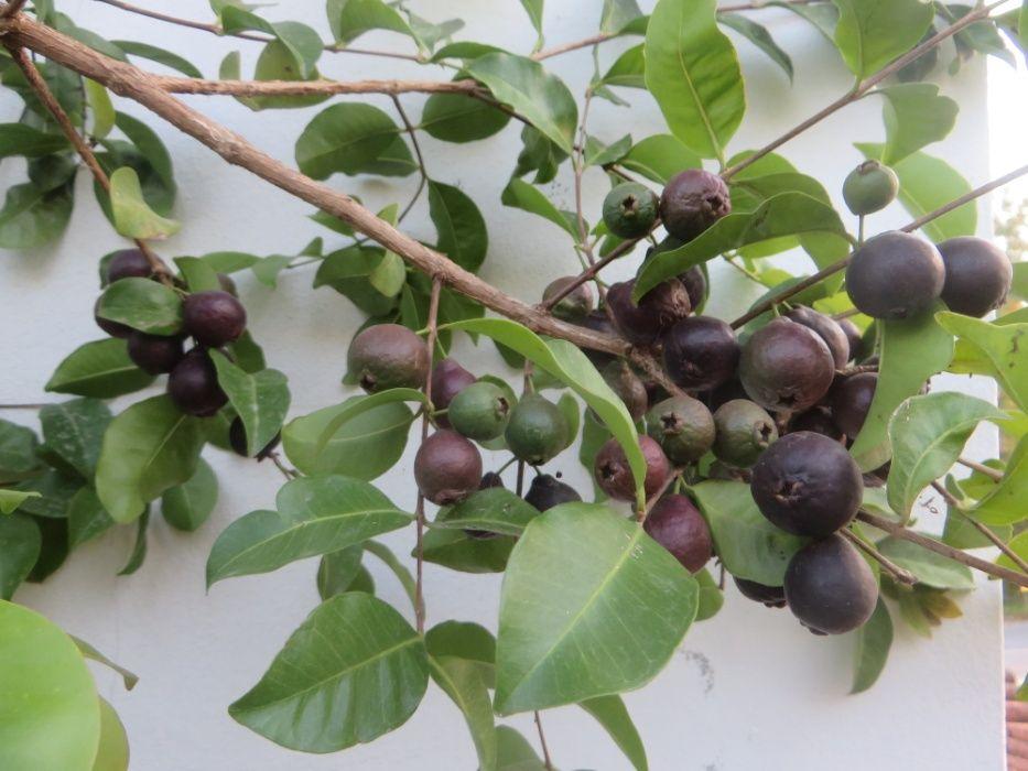 10 sementes de araçá negro (Psidium myrtoides) Sobretâmega - imagem 3