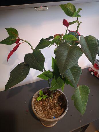 Kwiaty Doniczkowe W Bielsko Biala Olx Pl