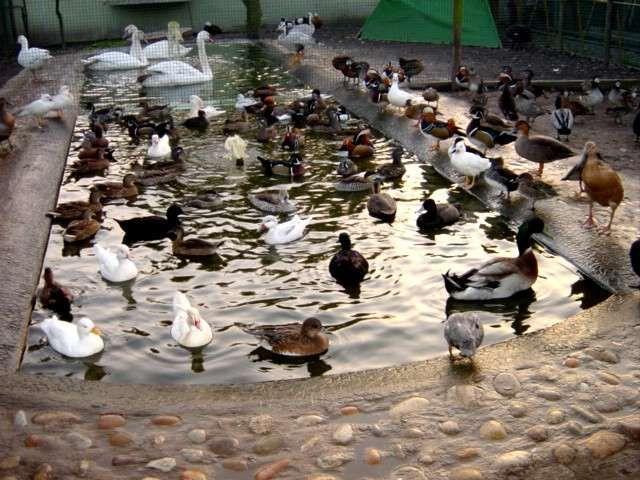 Patos Ornamentais
