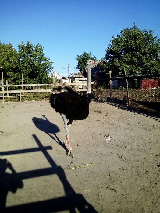 Продам бронь чорно африканских страусят