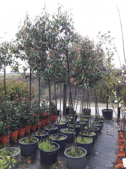 24 photinias de copa