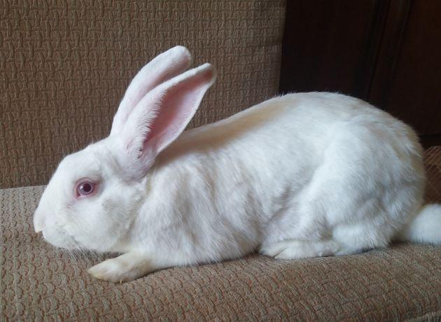 Кролики Белый Паннон, Калифорнийские