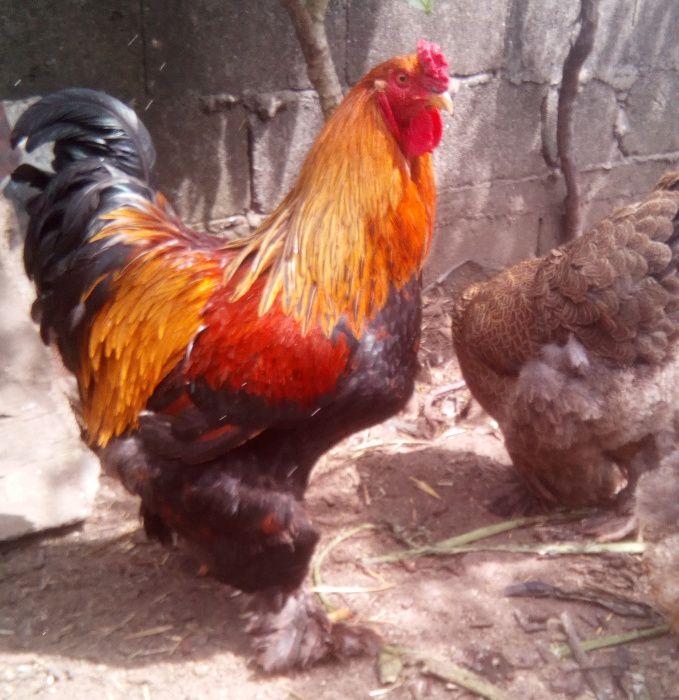 Brahma Perdiz Ovos para chocar
