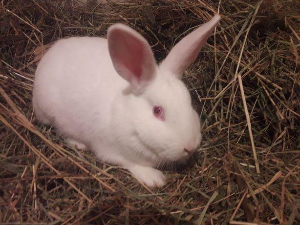 Кролики породы белый паннон с строкачом.