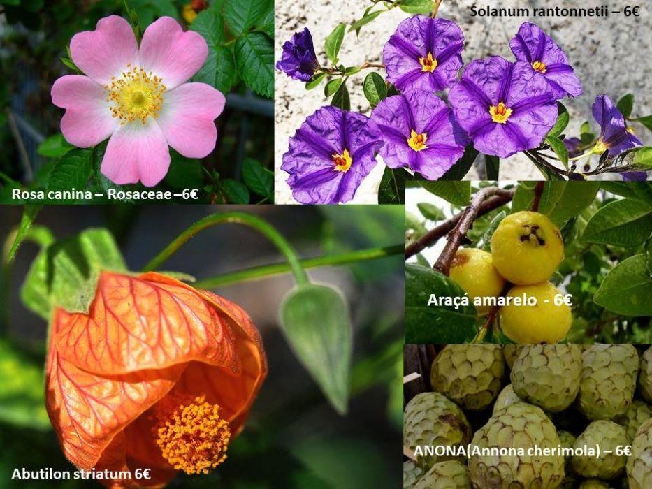 Rosa canina/Solanum rantonnetii/Abutilon striatum/Araçá amarelo/ANONA