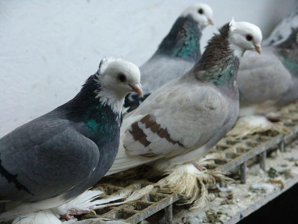 Георгиевские сизорябые моздокские бойные голуби