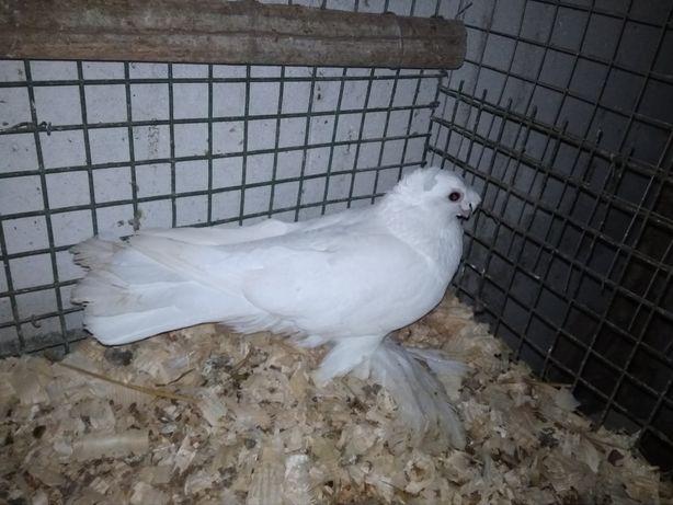 Узбеки голуби,19,20 года,бойные ,могу отправить в другой город