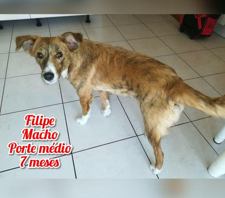 Filipe- cachorro jovem de porte médio para adoção