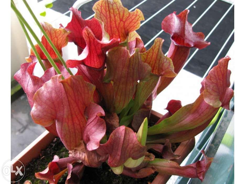 Kit completo para planta carnivora Sarracenia x Chelsonii