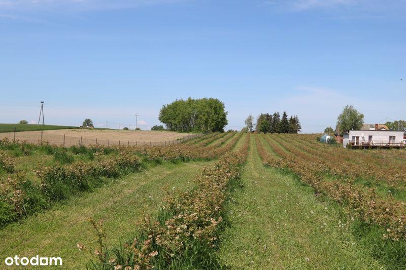 Sprzedam grunt rolny z plantacją borówek