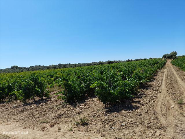Terreno com vinha e olival