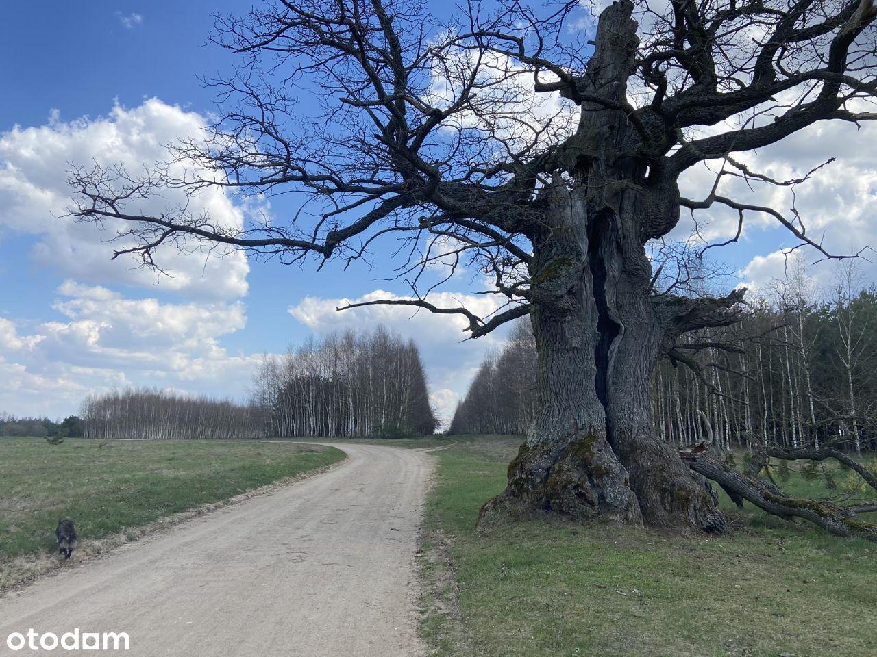 Puszcza Białowieska. Dąb Dunin, 400-letni strażnik