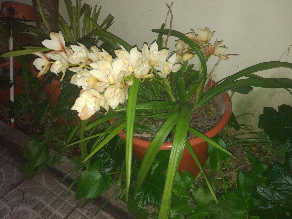 Orquidias