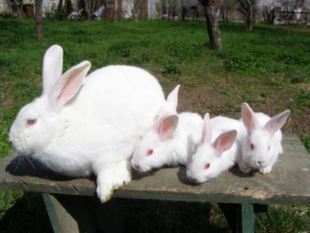 Продам кроликов Белый паннон.