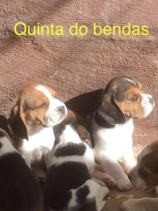 beagle seleccionado