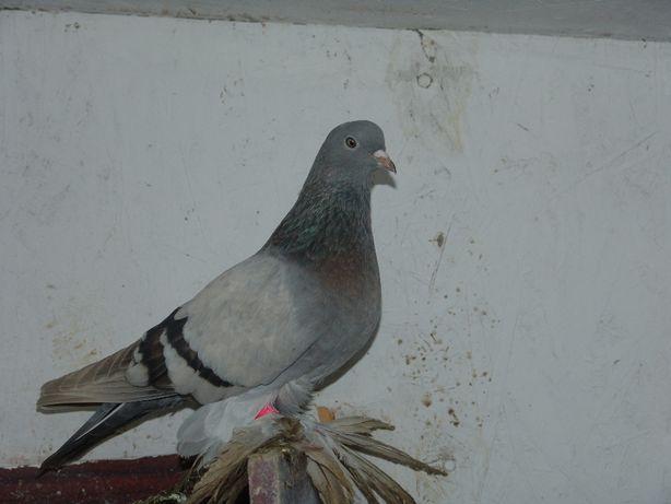 Северокавказские бойные голуби