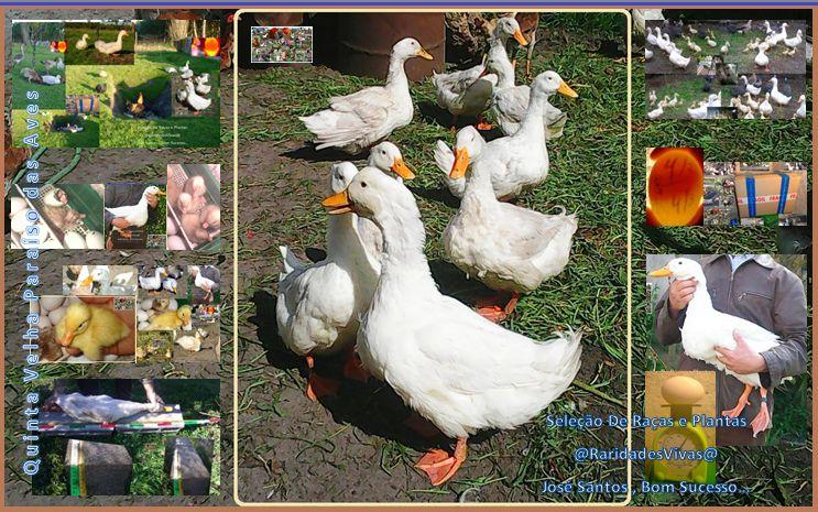 Patos de Pequim Selecionados ( +90 cm, 4 kg a 5 kg )