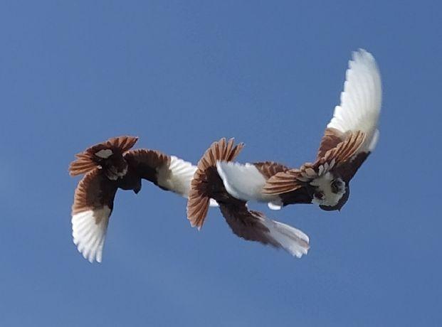 голуби высоко летные бойные