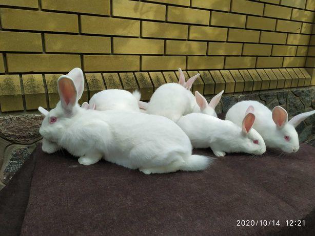 Кролики чистопородные Белый Паннон.