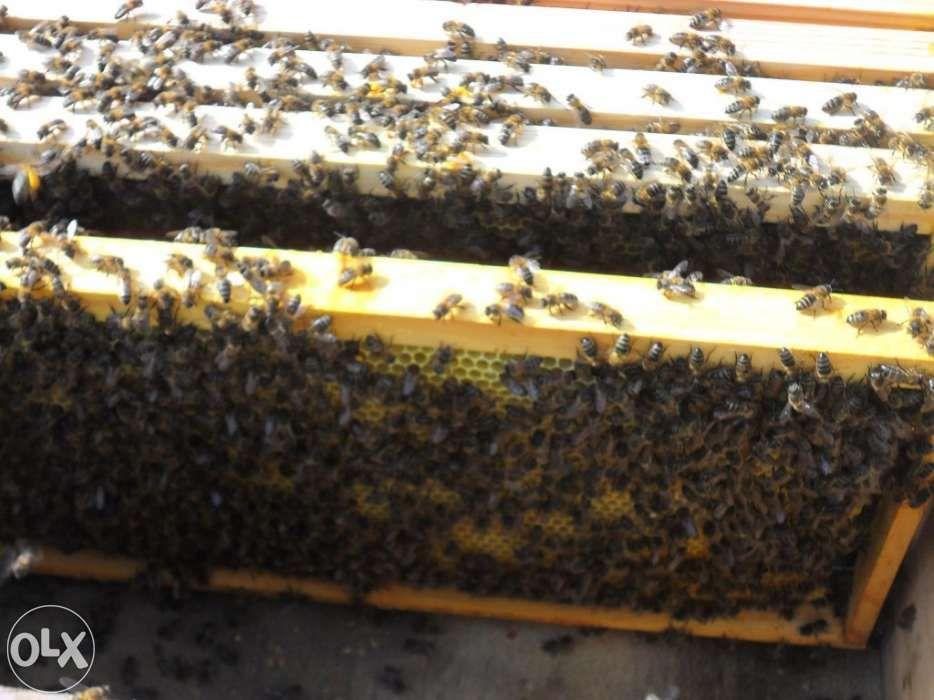 Comercializamos enxames de Abelhas do mel ( Várias espécies )