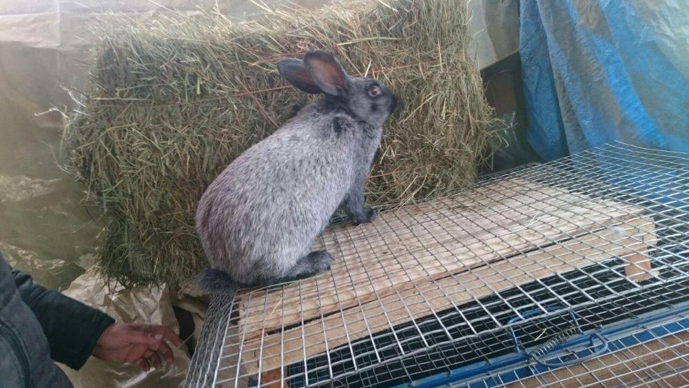 Кролик Полтавское Серебро