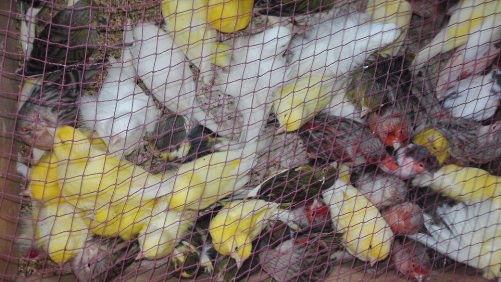 Vendo canarios várias raças