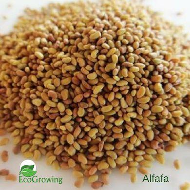 Sementes de Alfalfa Biológicas 100Gr / Microvegetais / Germinados