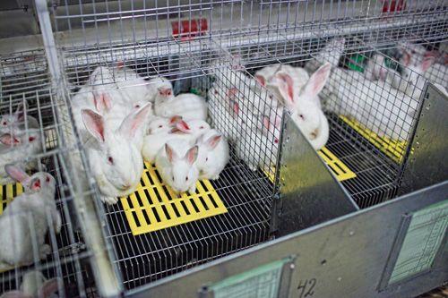 Кролик Белый Паннон / Кролики Білий Панон / Кролик Бройлер