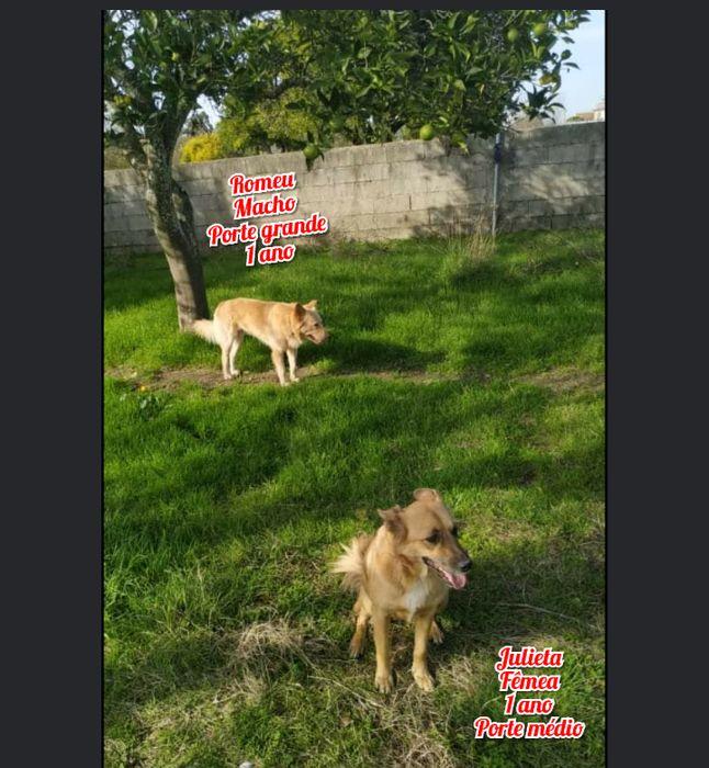 Romeu e julieta- cães de porte médio para adoção