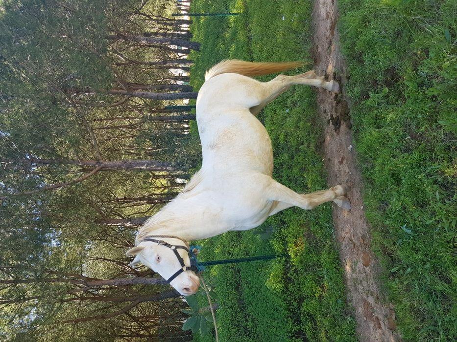 Vendo égua isabel com 6 anos engatada e montada