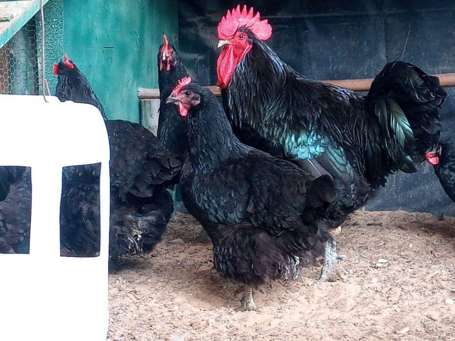 galinhas gigantes (ovos para incubaçao)