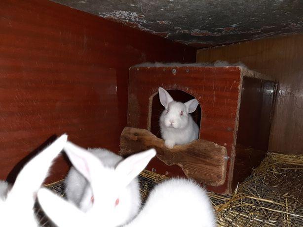 Кролики. Кролики белый паннон.