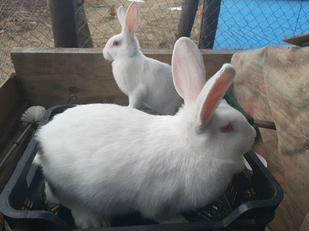 Кролі.Кролики, білий паннон, панон, самки крілички. Белый паннон.