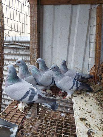 Голуби бойные косаны