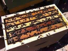 Enxame abelhas com quadros Lusitana