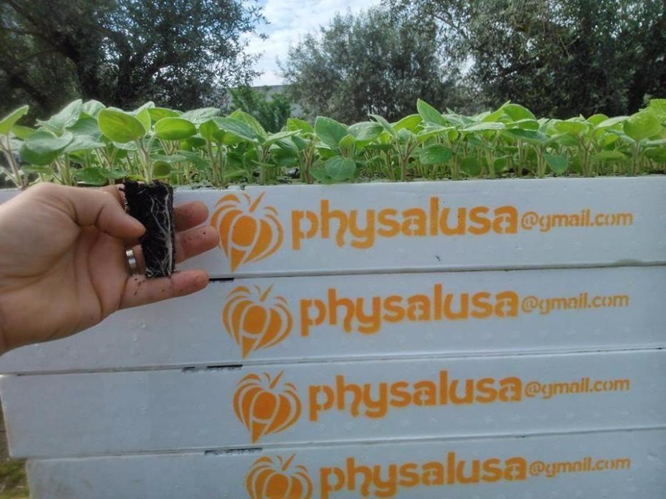 Venda de plantas physalis peruviana