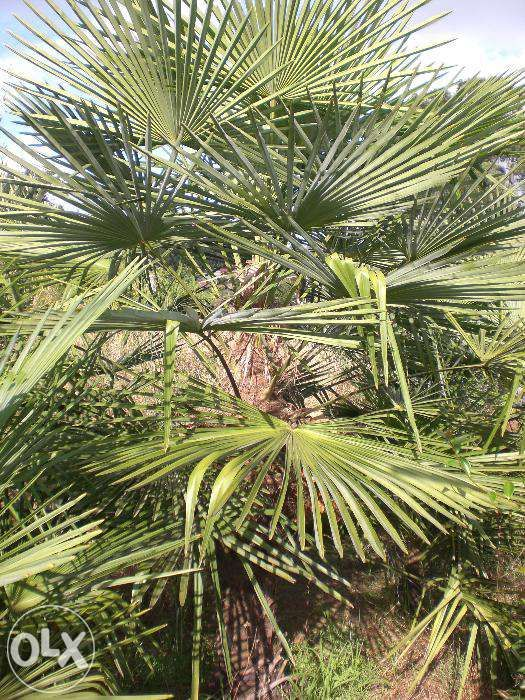 Vendo Palmeira Washingtonia Grande