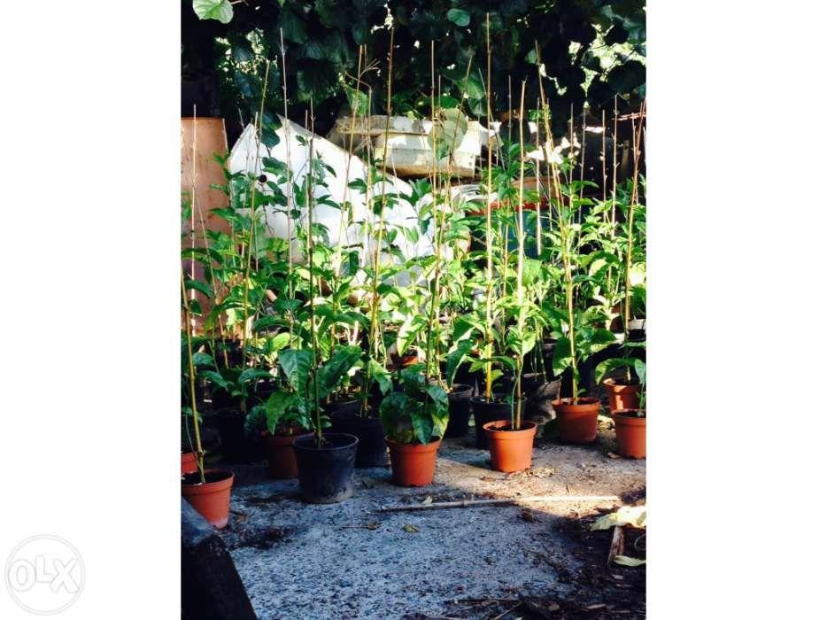 Maracujazeiros para plantação