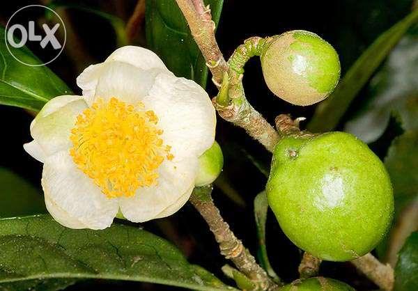 Sementes chá verde dos açores Camellia sinensis 8 Semente Portes Grati